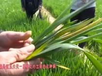 0327农家四季带您一起学习如何防控小麦条锈病