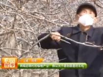 韩城启明村樱桃产业:群众从不愿到愿意的玄机