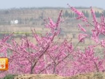 桃花美景里的大文章