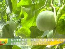 坤禾生物菌肥:造就好土壤 甜瓜增产收益高