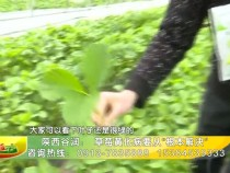 """陕西谷润: 草莓黄化病要从""""根本解决"""""""