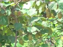 华州区高塘镇涧峪口村:小小猕猴桃 幸福润心田