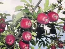 青甘川篇① _ 惊艳!PK美国蛇果的天水花牛苹果红又甜