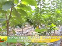 坤禾无忧果套餐肥:调土养根 为樱桃提供全程营养