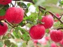 渭南:白水苹果喜迎丰收