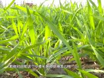 近期小麦要注意三大项 确保安全越冬
