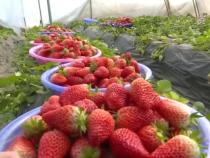 孔村草莓红火种