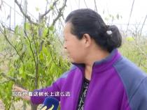 冬枣树冬季如何修剪