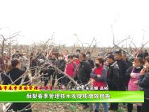 渭南市春季果园管理云课堂(三):酥梨春季管理技术及提质增效措施