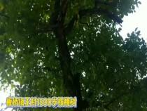 1500岁核桃树 你见过吗?