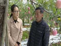 老刘和苹果树的亲密相伴