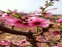 黄桃花也这么美啊