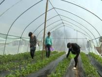 瓜坡镇:大棚草莓新上市  客商闻讯而来