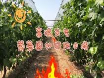高温天气葡萄园要预防日烧