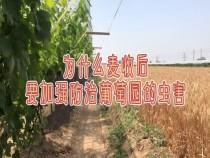 收小麦对葡萄园有何影响?