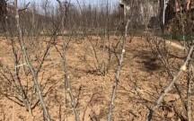 花椒树冬剪后要注意