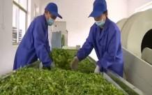 茶叶你喝过  你见过茶叶的加工流程吗?来看看西庄镇连翘茶是如何加工的…