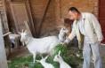 渭南高新区六旬翁养羊脱贫 产业扶贫助脱贫