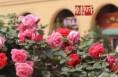 韩城初定市树市花:白皮松中槐为市树月季为市花