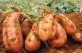 合阳南沟村创新红薯产业扶贫模式