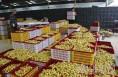 大荔安仁镇电商助推冬枣日销240吨 交易额达430万