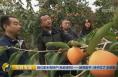 央视《生财有道》陕西富平:柿子红了 丰收啦