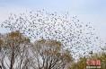 """大荔黄河湿地上万只候鸟""""回娘家""""越冬"""