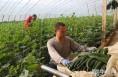 大荔冯村万亩大棚蔬菜迎来丰收季
