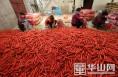 大荔红萝卜水洗深加工产业带动贫困户增收