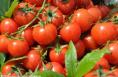 潼关:各方行动帮农户 10万斤大棚西红柿销售有出路