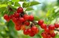 陕西省首个国家级樱桃试验站在澄城县建成