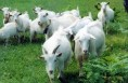 富平着力打造300亿奶山羊全产业链