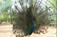 有趣的课堂 特殊的客人:孔雀山鸡进校园