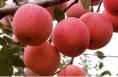 白水因苹果再获省级殊荣