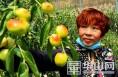 大荔温室大棚冬枣上市 一斤卖到120元