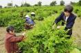金银花已成为蒲城群众增收致富的主导产业