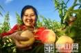 大荔百亩水蜜桃受客商青睐 吃一口流一手