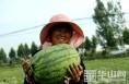 """大荔""""同州西瓜""""开园上市 受到客商青睐"""