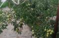 大荔县:一种植户十亩大棚冬枣受灾急寻销路