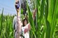 临渭区农技人员冒酷暑深入田间地头为农民提供技术服