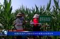 临渭区农技中心调查全区54万亩夏玉米苗情长势
