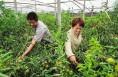 大荔冬枣带来30余万人的甜美生活 年产值可达50亿元