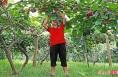 临渭区猕猴桃种植面积8.3万亩 产值3.9亿元
