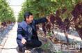 富平张桥镇三合村百余亩葡萄 未成熟已被客商订购一空