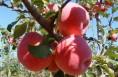 现代苹果苗木繁育基地项目落户白水