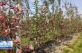 《瞰渭南》 又是一年丰收季 白水55万亩苹果喜获丰收