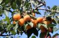 富平庄里试验区万亩柿子丰收在望