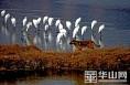 """黄河湿地大荔自然保护区百鸟演绎""""大合唱"""""""