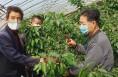 富平 : 疫情防控不误农时 大棚樱桃待丰收
