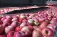 白水苹果:生产不误时  销售不掉线